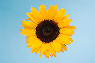 detail shot of a sunflower  floating on a blue background