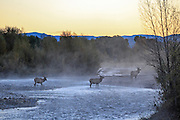 Three young bull elk cross a river in early morning mist.
