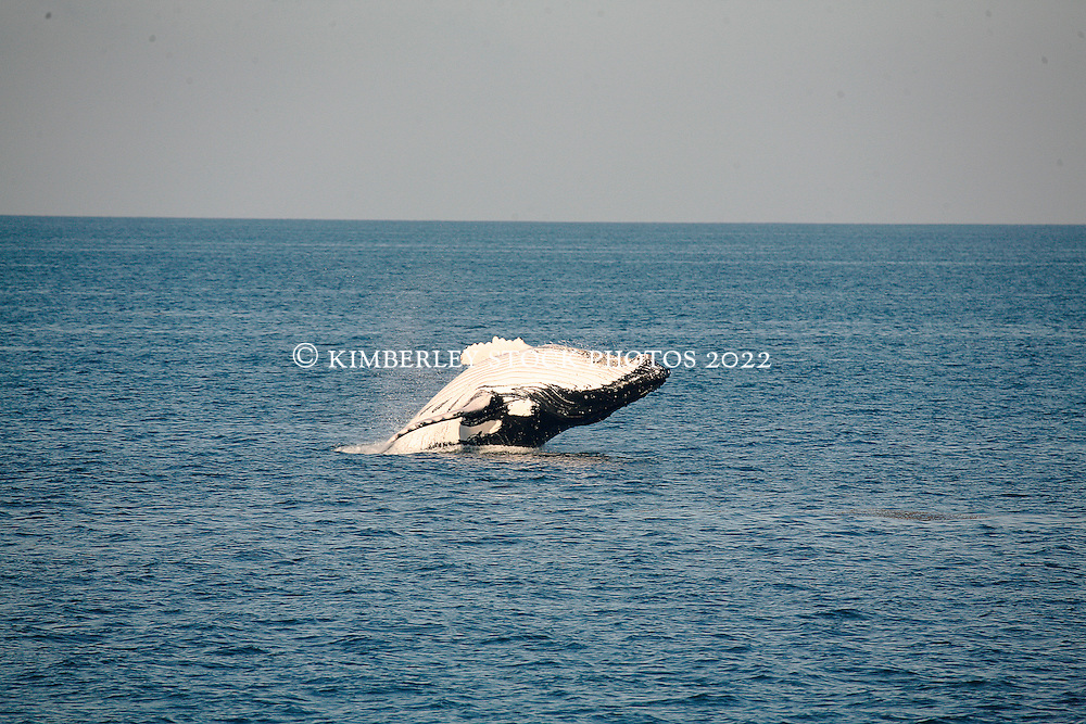 A humpback whale breaches on the Kimberley coast.