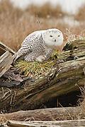 Canada, British Columbia, Boundary Bay, Snowy Owl (Nyctea scandiaca) preening