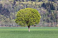 A solitary maple tree in a farmers field near Agassiz, British Columbia, Canada. Hopyard Hill is in the background.