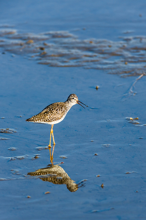 A Lesser Yellowlegs (Tringa flavipes) forages in Potter Marsh in the Anchorage Coastal Wildlife Refuge in Southcentral Alaska. Spring. Evening.