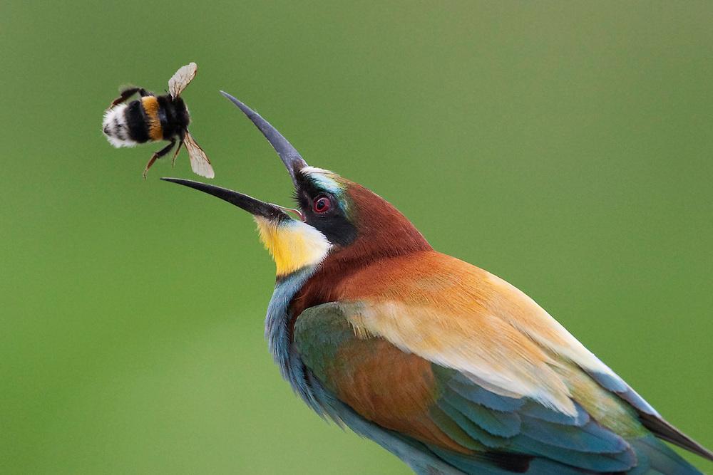 European Bee-eater, Merops apiaster, Pusztaszer Landscape Reserve, Hungary 2008