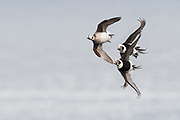 Long-tailed Duck, Clangula hyemalis, Lake Ontario, Ontario, Canada