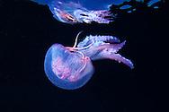 10/Enero/2015 Islas Baleares., Ibiza.<br /> Medusa (Pelagia noctiluca) en Agujeros Azules.<br /> <br /> &copy; JOAN COSTA