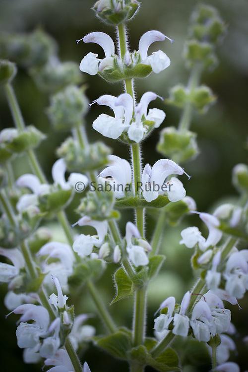 Salvia sclarea 'Alba' - clary sage