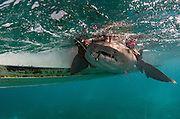 Nurse Shark (Ginglymostoma cirratum) research<br /> Marine Megafauna Research. Large marine fish, sharks, rays & turtles.<br /> MAR Alliance<br /> Lighthouse Reef Atoll<br /> Belize<br /> Central America