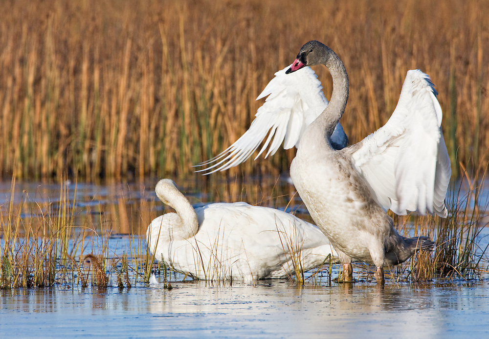 A juvenile (cygnet) Trumpeter Swans flaps its wings as an adult looks on at Potter Marsh, Turnagain Arm, Anchorage in Southcentral Alaska. Fall. Morning.
