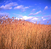 AWY7A8 Golden reeds blue sky fluffy white clouds. Image shot 2005. Exact date unknown.