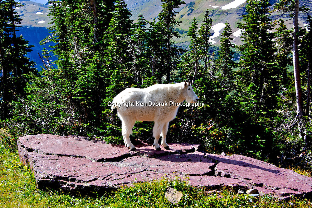 Mountain Goat 8
