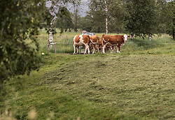 THEMENBILD - eine Kuhherde steht um den Wassertank, aufgenommen am 10. Juni 2019 in Kaprun, Österreich // a herd of cows stands around the water tank, Kaprun, Austria on 2019/06/10. EXPA Pictures © 2019, PhotoCredit: EXPA/ JFK