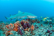 A lemon shark, Negaprion brevirostris, swims over a coral reef offshore Juno Beach, Florida, United States.
