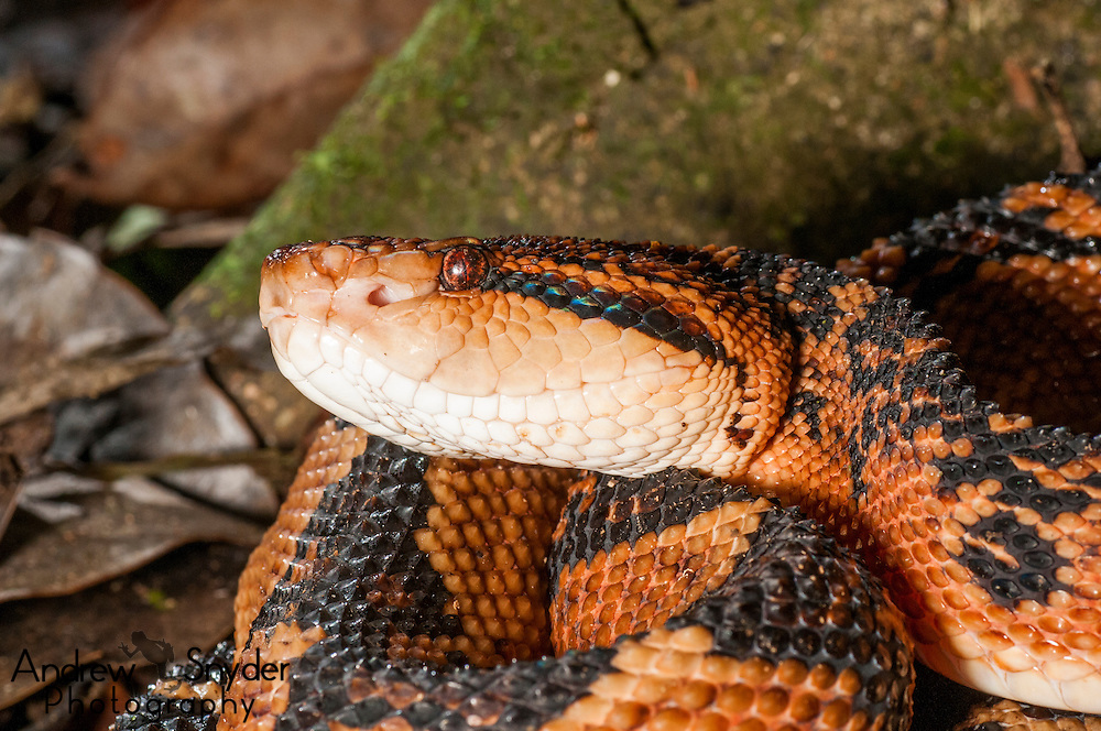 The profile of a bushmaster (Lachesis muta).