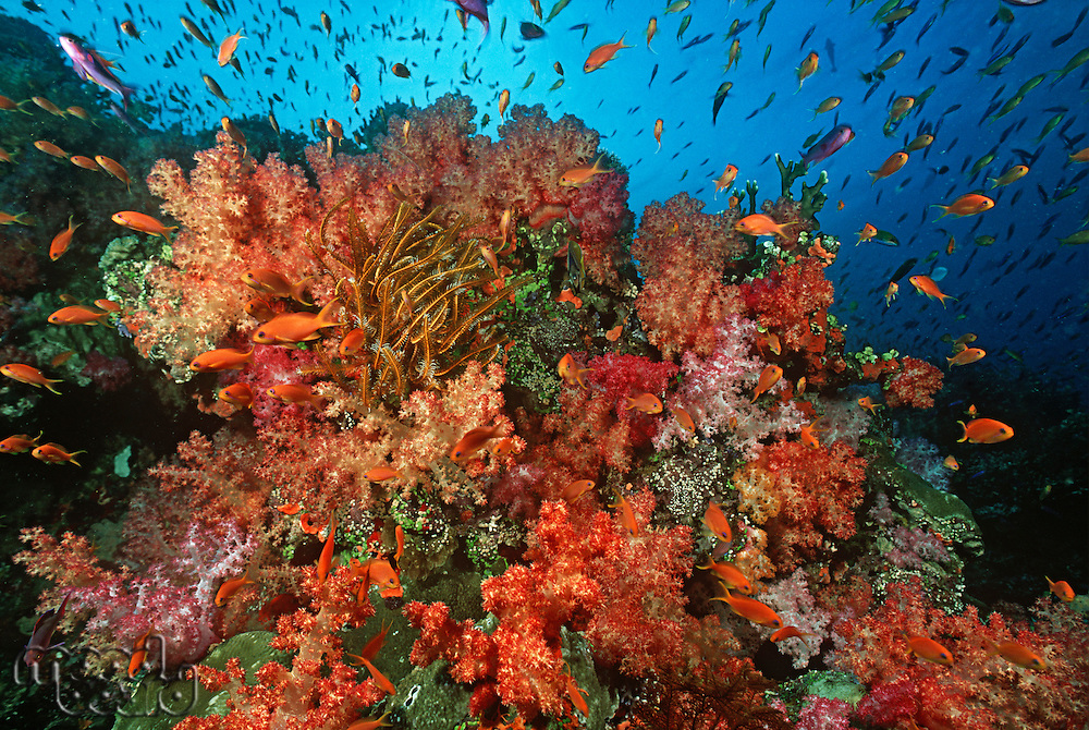 School of sea goldies amongst soft coral reef