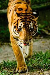 Tiger walking toward camera.