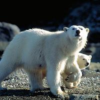 Polar Bears  Spitzbergen