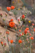 Desert mallow (Sphaeralcea ambigua) in the Cottonwood Mountains, Joshua Tree National Park, California