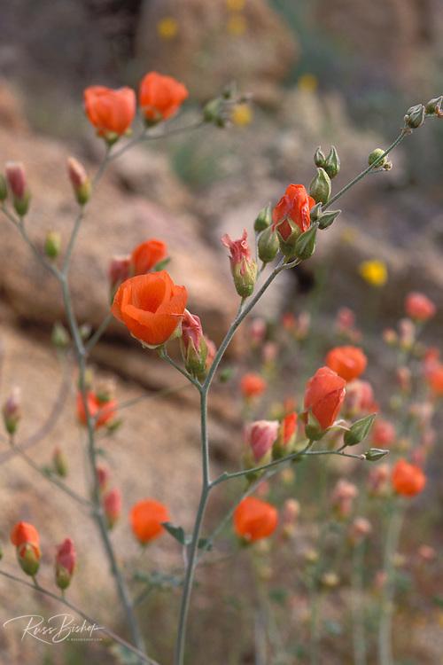 Desert mallow (Sphaeralcea ambigua) in the Cottonwood Mountains, Joshua Tree National Park, California