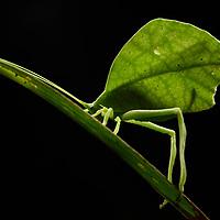 Leaf katydid (Typophyllum sp.), female. Possibly T. mortuifolium.