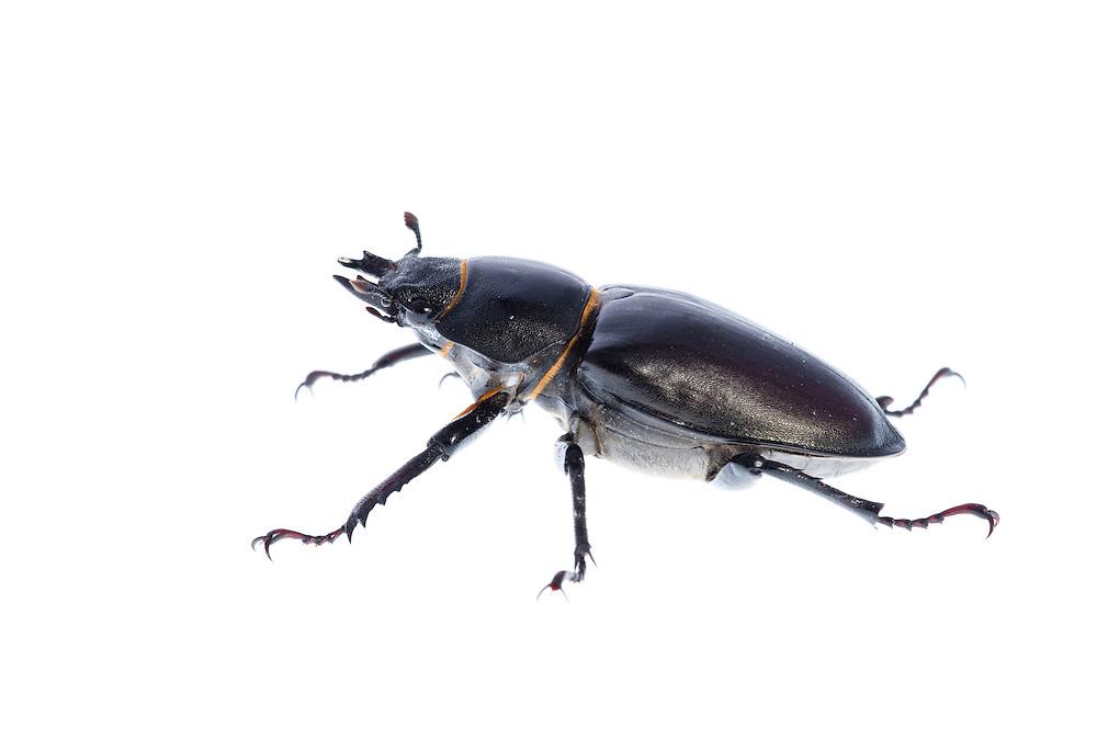 Female stag beetle in profile, Lucanus cervus, Suffolk, England, Europe.