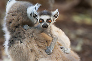 Ring-tailed Lemur<br /> Lemur catta<br /> Two-week-old baby<br /> Berenty Private Reserve, Madagascar