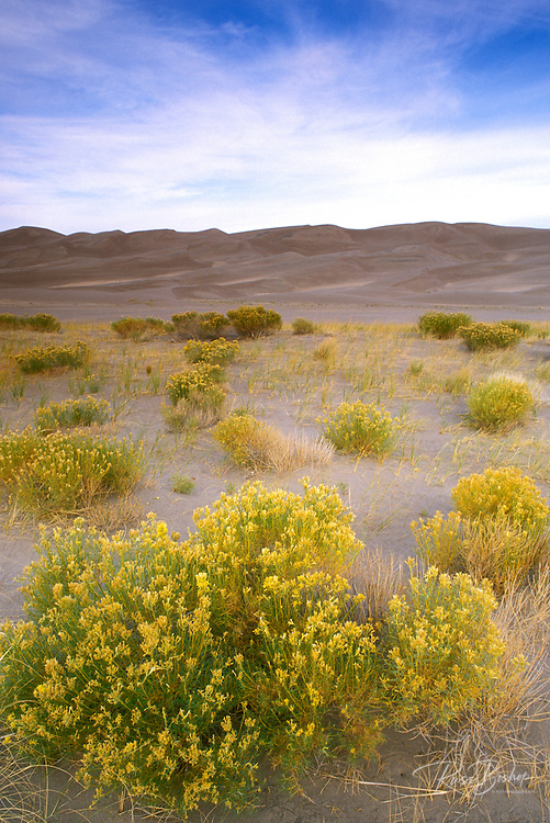 Sagebrush and the main dune complex, Great Sand Dunes National Park, Colorado.