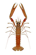 Norway Lobster - Nephrops norvegicus
