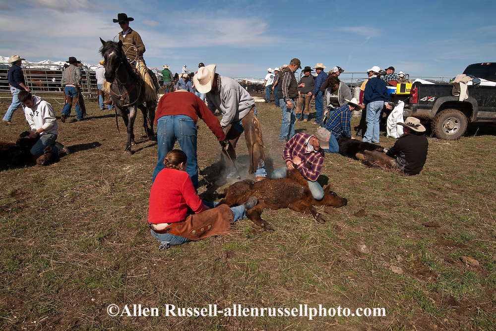Cowboy Kurt Mraz  ropes and drags calves to the fire to be branded, Wilsall, Montana, Bridger Mountains