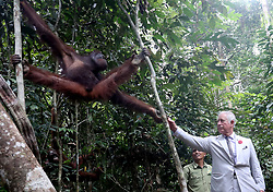 The Prince of Wales feeding an orangutan during a visit to the Sarawak Semenggoh Wildlife Rehabilitation Centre in Kuching, Malaysia.