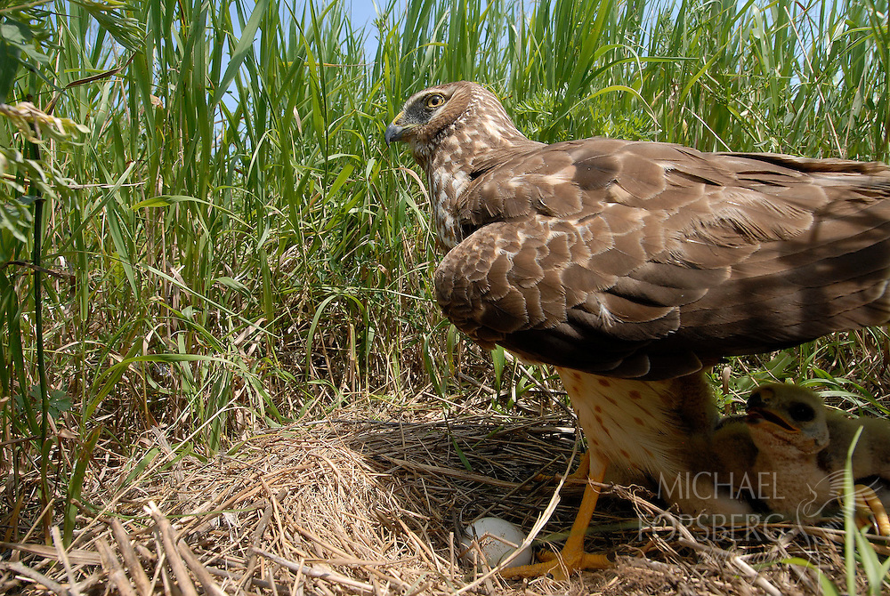 Prairie pothole region - Missouri coteau..Northern harrier adult female at nest in CRP field shading egg and chicks during heat of the day ..Stutsman County North Dakota