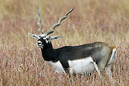 Blackbuck Antelope Antilope cervicapra Shoulder height 70-80cm Well-makred antelope, endemic to the Indian sub-continent. Male is blackish-brown and white with long, spiral horns. Female is buffish-brown and white with no horns.