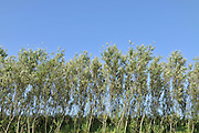 Line of Willow Trees