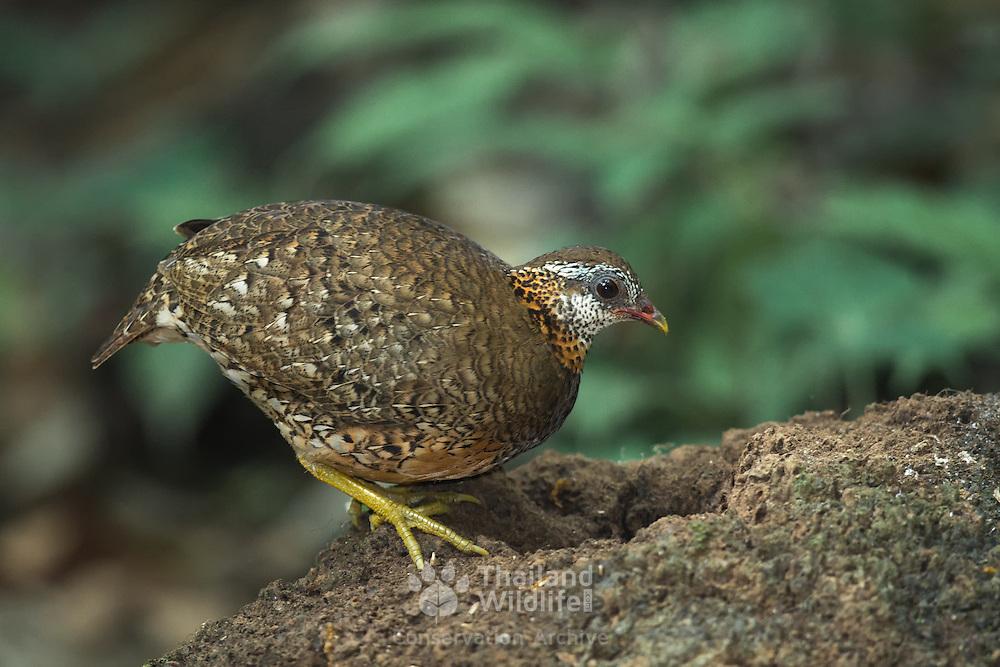 Scaly-breasted Partridge, Arborophila chloropus peninsularis, at Kaeng Krachan National Park, Thailand. AKA Scaly-breasted Hill Partridge, Green-legged Partridge, Green-legged Hill Partridge, Chestnut-necklaced Partridge.