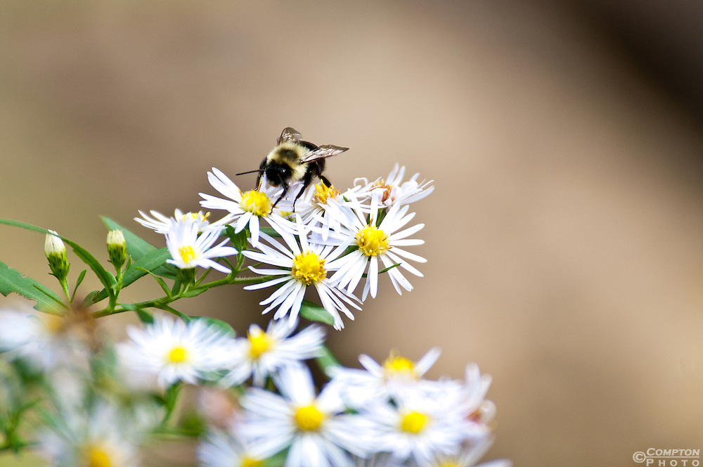 A honey bee feeding on a clutch of small flowers.