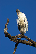 Adult Woodstork posing on weathered branch.