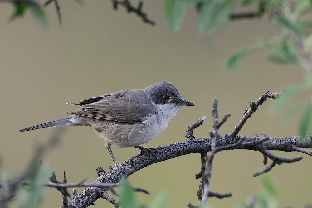 Eastern Orphean warbler, Sylvia crassirostris, Sakar mountains, Eastern Rhodope mountains, Bulgaria