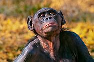 Bonobo female, native to Congo (DRC)
