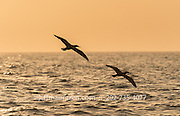 The silhouette of a pair of brown boobies in flight at sunrise in Panama Bay.