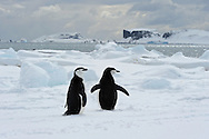 Chinstrap Penguins (Pygoscelis antarcticus ) at Aitcho Islands, a group of islands at the northern entrance to the English Strait.