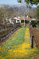 2014 March 20:  Old vines waking up in Oakville. Mustard growing between them. Spring in the Napa Valley wine region.  Stock Photos