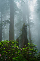 Fog fills the redwood forests in Northern California and the rhododendrons bloom among the giant trees.