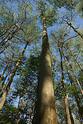A loblolly pine tree grows above Congaree National Park, near Columbia, South Carolina on Earth Day, April 20, 2008.  Protected in 1976 by the US Congress as Congaree Swamp National Monument, the 22,000 acre park became Congaree National Park in 2003.  The park is home to primeval forest landscape, champion trees including record bald cypress, tupelo and loblolly pine trees.