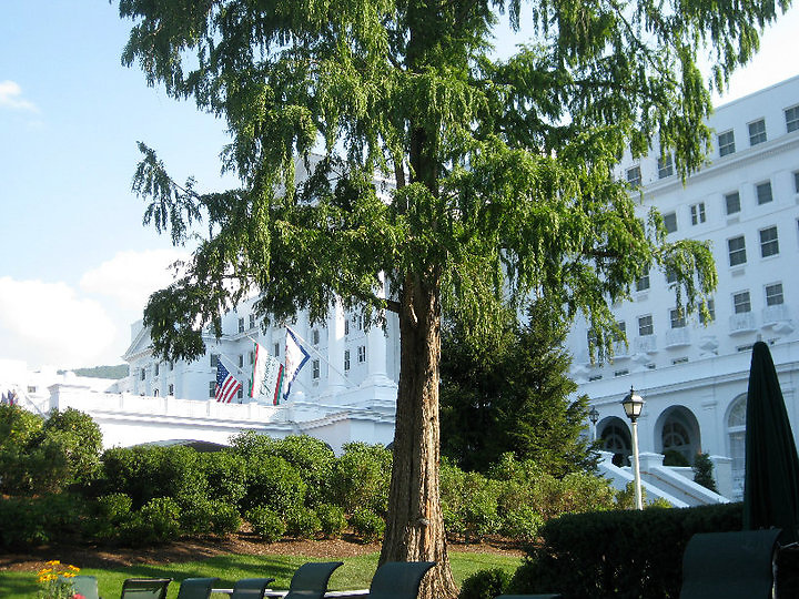 Large tree outside the Greenbrier in West Virginia.