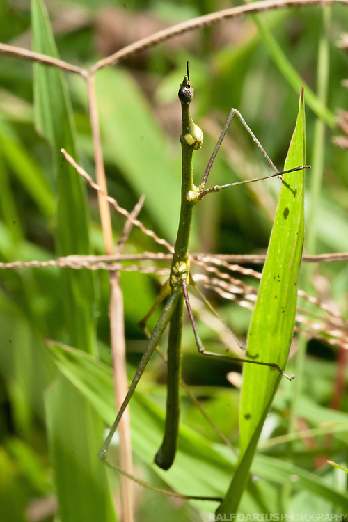 Stick insect at the edge of the lowland rainforest south of the Napo river - Yasuni, Ecuador