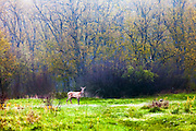 Wild deer in a green meadow at dawn