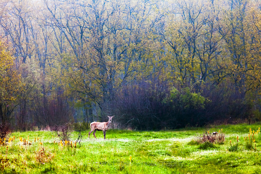 Wild deer in a green meadow at dawn