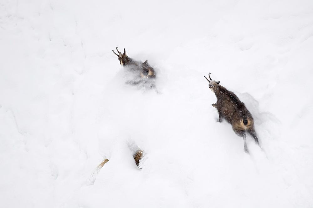 28.11.2008.Chamois (Rupicapra rupicapra). Chasing..Gran Paradiso National Park, Italy