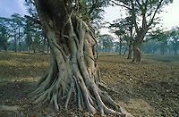 Nepal. Region du Terai. Foret indienne. Arbre Banian. // Nepal. Terai area. Indian type of forest. Banian tree.