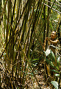 Use of forest products by Indians of Guiana Highlands of Venezuela: man in montane rainforest inspecting a stand of bamboos (Arthrostylidium schomburgkii) used to make blowguns.