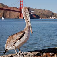 Pelican at Crissy Field in San Francisco